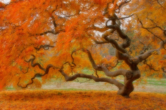 Japanese Maple Tree in Autumn, Landscape Photograph, Fall Foliage, Nature, Tree of Life, Orange, Art Print, Zen, Woodland, Old Tree, 6X9