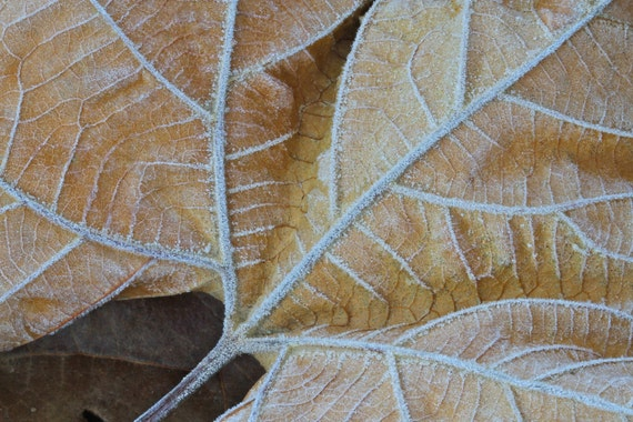 Morning Frost on Leaf, Nature Photography, Cold, Beige, Tan, Autumn, Woodland, Winter, Fine Art Photograph, Earth Tone, Neutral Art Print