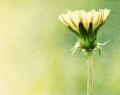 "Nature Photography - dandelion art print yellow green light pale spring modern photo botanical flower - 10x10, 8x8 Photograph, ""A New Day"""