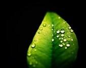 "Nature Photography - green black wall art leaf print leaves photo botanical raindrops drops macro - 11x14, 8x10 Photograph, ""After the Rain"