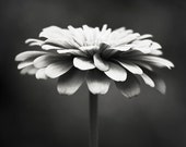 Black and White Photography - floral photography flower photograph monochromatic black white wall art print nature - 11x14, 8x10 Photograph - CarolynCochrane
