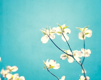 "Aqua Photography - blue decor spring dogwood blossoms flowers white teal wall art floral photo prints branch nursery photograph, ""Delicate"""