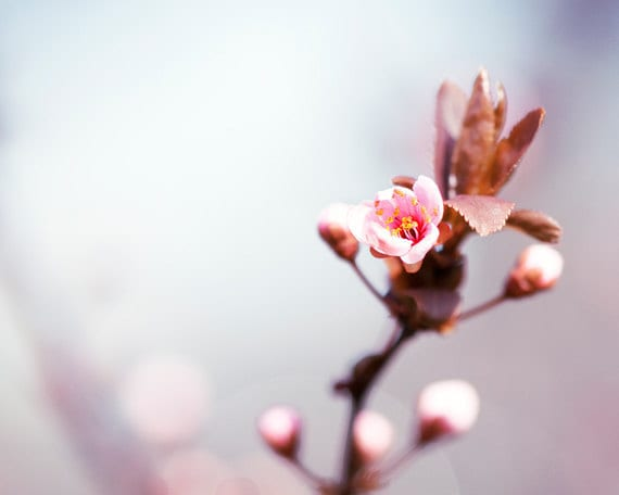 "Floral Photography - spring pastel light pale purple wall art pink tree flower print lavender white sand cherry - 8x10 Photograph, ""Opening"""