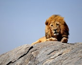 Travel photography - Majestic lion in Tanzania