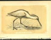 Vintage Antique 1851 White Spoonbill Bird Print