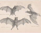 Antique black and white bat print (JR200)