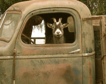 """Truck Driver Goat, Photo on 4x4 wood block. As seen in """"Southern Living"""" magazine ,July,2011"""