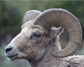 Yellowstone Ram Portrait Wildlife Photograph 8x10