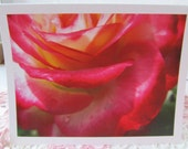 Note Card Pack of 10, Pink and Cream Rose, Stunning, cards and envelopes in plastic sleeves