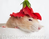 Rat Photograph - Nursery Art, Rat in Bowl, Rat red flower hat, cute rat, small animal, red, white, fawn, fPOE, POE