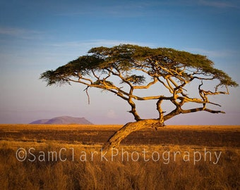 African Landscape Photo - Wall Art - 8x12 inch, Acacia Tree, Serengeti, Nature Photography, Gift, Sam Clark, tree, golden, blue