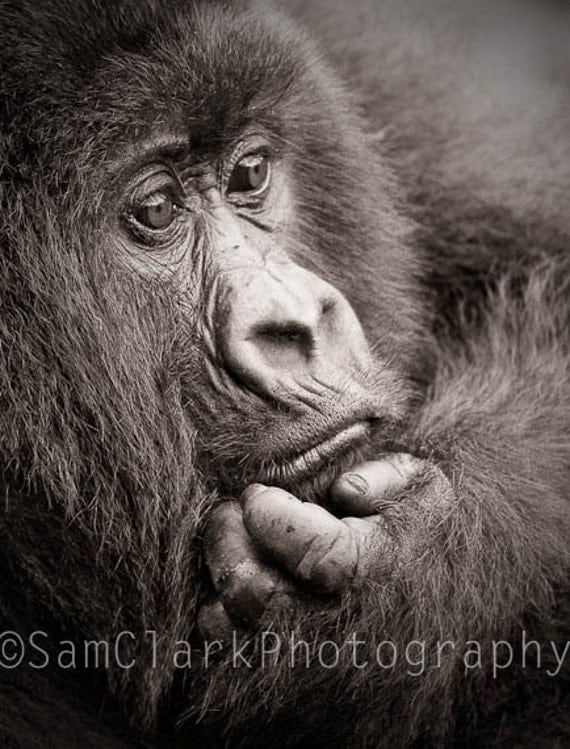 WILDLIFE PHOTOGRAPHY -  AFRICAN Wildlife, African Photography, Nursery Wall Art, Wall Art, Safari Animals,Gorilla Photo, Nature Photography