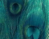 Teal Peacock Feathers - Bird Feathers, Blue Green Navy, Home Decor - Fine Art Photography, Metallic Finish - 8x10
