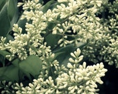 50% OFF SALE on In Stock Prints - Ligustrum Blossoms - Fine Art Photography , Green, White, Blooms - 8x10