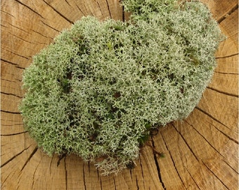 Ethically Wild-Harvested Live Reindeer Moss