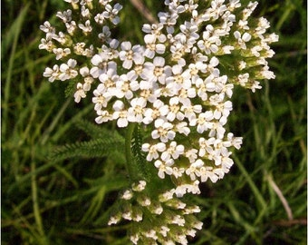 Ethically Wild-Harvested Yarrow