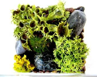 Modern Cube Rare Brown-Eyed Wolf Lichen Terrarium