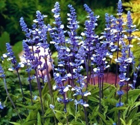 Fairy Queen Salvia - Mealy Cup Sage - Blue & White