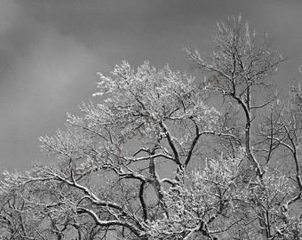 Snow Dusting - Black & White Winter Trees Fine Art Photography Print