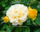 Yellow Roses 1517 images baby  Rose Pictures Flowers Plants Image Art Digital Photography Blooming House Garden Gifts for her