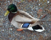 Mallard Duck 1035 Ducks Unlimited nature photo art images pictures Teal green
