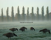 Canadian Geese Feeding in the park goose images pictures art photography digital nature landscape birds feeding