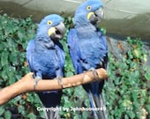 Birds, Macaws, Blue, Pair, 1993, Wild, Reduced in Price, Free Shipping