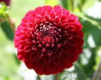 Red Loopy Flower - Great for Valentine's Day, Mother's Day and Easter Cards