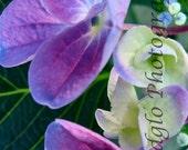LaceCap Hydrangea  Macro  0639  8x10 (print only)