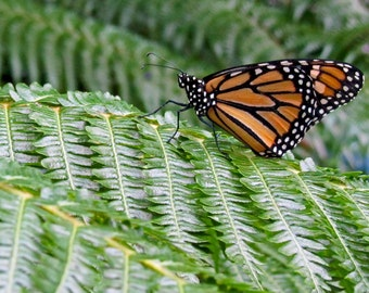 Butterfly Photograph Number 5 8x10
