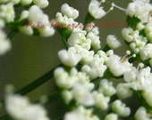 Pretty White Wildflowers 8x10 Fine Art Photo print