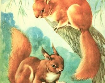 Red Squirrel Print - Circa 1940's