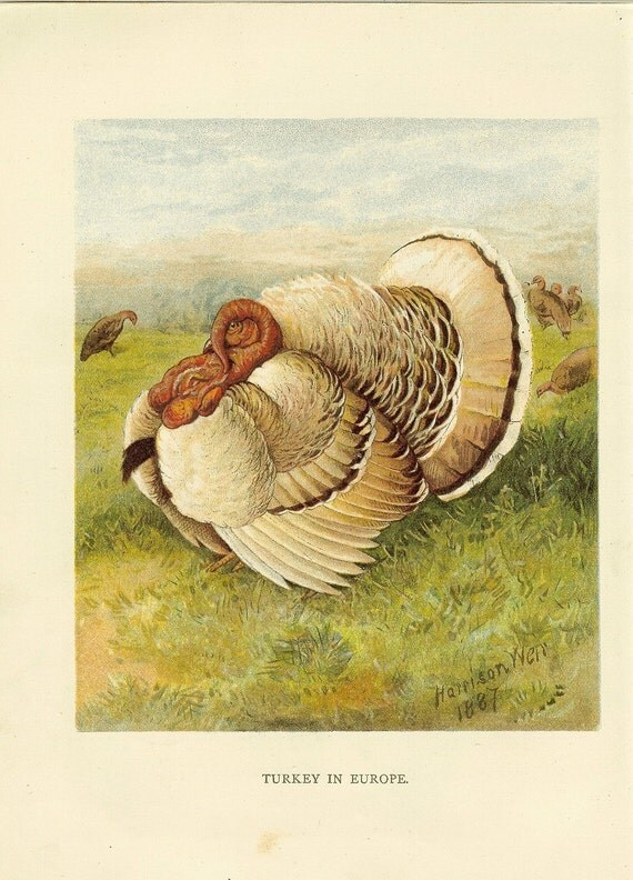 "Antique 1880s Bird Print ""Turkey In Europe"" by Harrison Weir. Ideal for Framing"