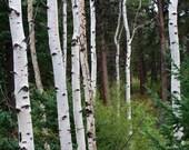 "Colorado Aspen Trees, Landscape, Nature Photography, - ""Into the Trees"", 8x10"