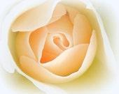A Rose's Heart / Macro Photography