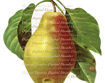 Pear Fruit Vintage French Art Illustration - Digital Image