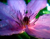 DIGITAL DOWNLOAD Flower photogtaphy Purple Clematis lavender lilac moonlight macro close focus