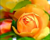 DIGITAL DOWNLOAD Yellow rose flower garden nature photo yellow pastel yellow red-orange green macro close focus 'Graham Stuart Thomas'