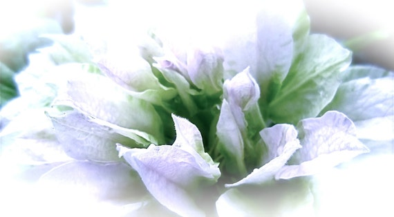 DIGITAL DOWNLOAD White Green Clematis Flower Photography abstract macro 'Pastel Dream' dreamy ethereal wall art