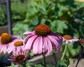 Purple Coneflower Organic Seeds, 40 - Echinacea Purpurea - Heirloom Organic Flower / Herb Seeds