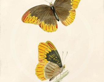 Antique Butterfly Print - 5 x 7 -  Argynnis Diana