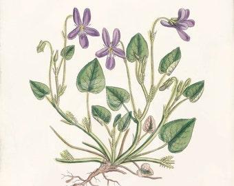 Vintage Botanical Print - 8x10 - Dog Violet