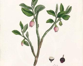 Beautiful Antique Botanical Print - 8 x 10 - Common Bilberry