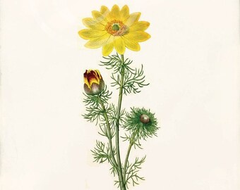 Antique Botanical Art Print - 8x10 - Adonis