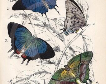 Beautiful Antique Butterfly Print - 5 x 7 - Pseudolycoena Marsyas, Evenus Regalis