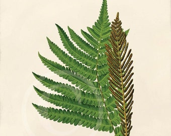 Antique Fern Art Print - 5 x 7 - Polypodiaceae