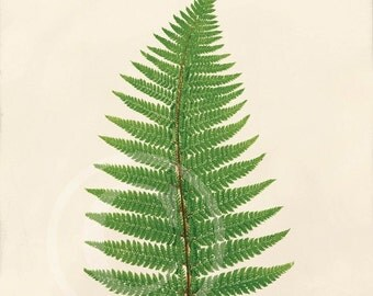 Antique Fern Art Print - 5 x 7 - Aspidium Angulare A