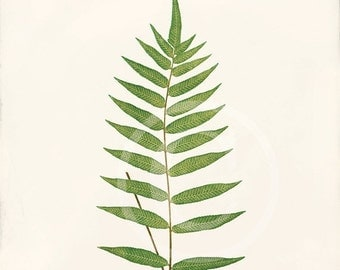 Antique Fern Art Print - 8x10 - Polypodium Fraxinifolium