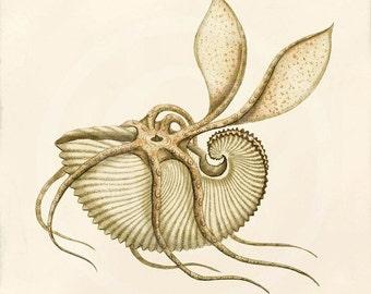 Antique Nautilus Fine Art Print - 5 x 7 - Argonauta Argo - Nautilus