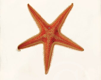 Antique Starfish Art Print - 5 x 7 - Astropecten aurantiacus